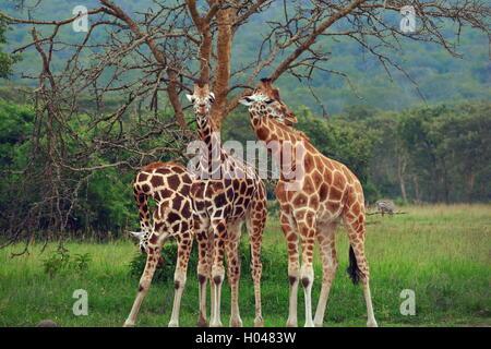 Three giraffes moving symmetrically in Lake Mburo National Park, Uganda - Stock Photo