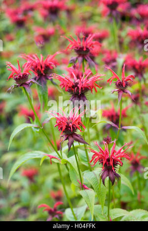 Monarda didyma 'Squaw'. Bergamot flowers. - Stock Photo