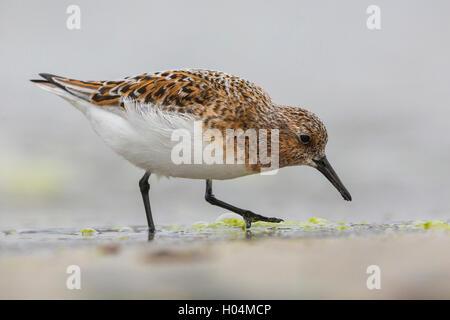 Little Stint (Calidris minuta) adult feding on the shore - Stock Photo