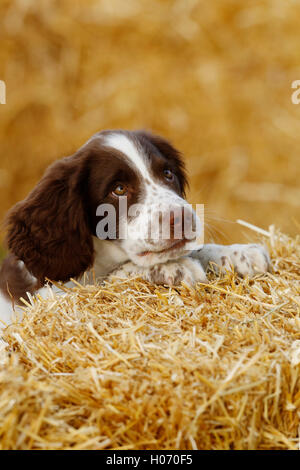 Moss, a 12 week old Springer Spaniel puppy plays on bales of straw at the Autumn Show and Game Fair 2015 at Ardingly, - Stock Photo
