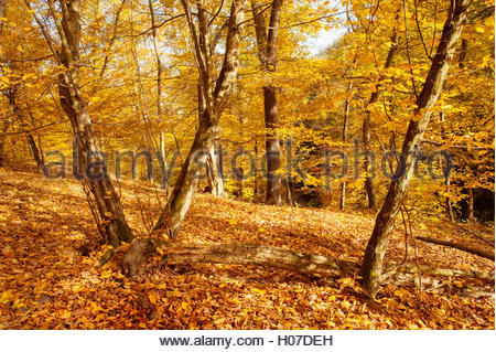 Golden Hornbeam trees  in autumnal forest in sunny day - Stock Photo