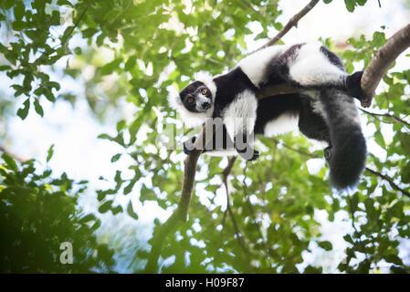 Black and white ruffed lemur, endemic to Madagascar, seen on Lemur Island, Andasibe National Park, Madagascar - Stock Photo