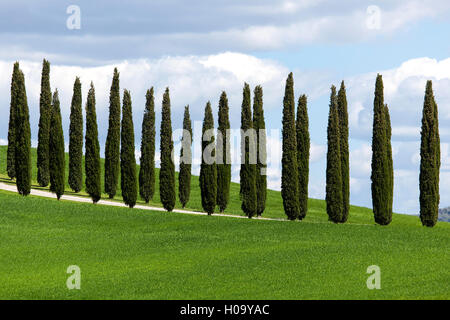 Cypresses, avenue of cypress trees, near San Quirico d'Orcia, Val d'Orcia, Tuscany, Italy - Stock Photo