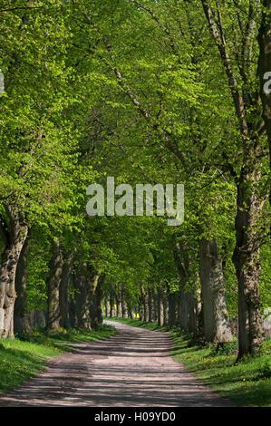 Largeleaf linden (Tilia platyphyllos) avenue, Mecklenburg-Western Pomerania, Germany - Stock Photo
