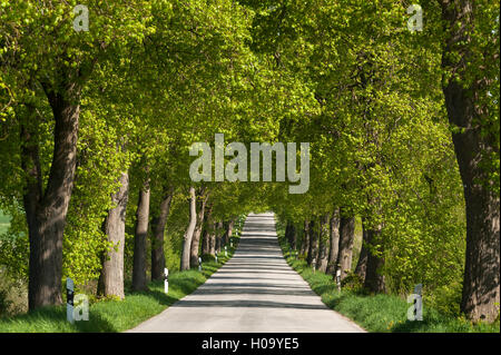 Largeleaf linden (Tilia platyphyllos) avenue, country road, Mecklenburg-Western Pomerania, Germany - Stock Photo