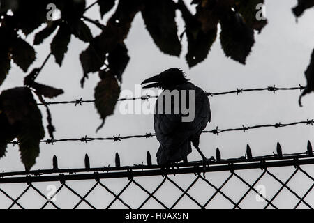 Urban bird, silhouette of crow sitting on the fence, Vienna,  Austria - Stock Photo