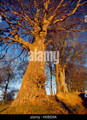 Three mature beech trees, Fagus sylvatica, richly lit by late sunshine on a winter's day, Landyrnog, Denbighshire, - Stock Photo