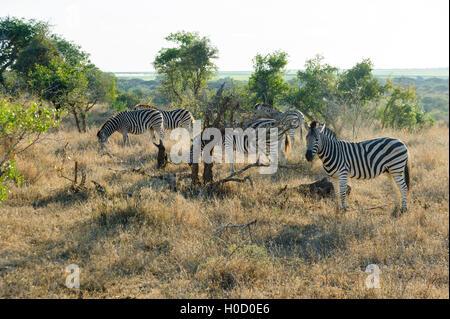 Herd of wild Burchell's zebras grazing in the African Bush. Burchell's zebra (Equus quagga burchellii), South Africa - Stock Photo