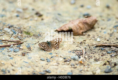 Speckled Wood Pararge aegeria butterfly on path at Arlington Reservoir in East Sussex UK - Stock Photo