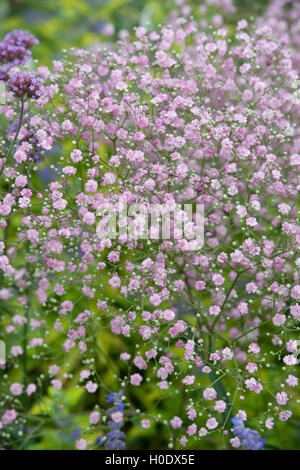 Gypsophila paniculata 'Flamingo'. Baby's breath 'Flamingo' flowering in an English garden - Stock Photo