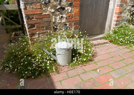 Old galvanised metal watering can on a brick path with flint stone wall behind. Santa Barbara /  Mexican daisy plants. - Stock Photo