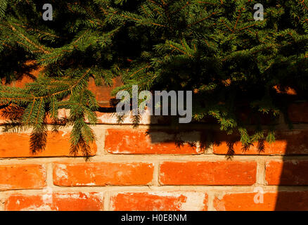 Wall made of red bricks partially covered from the top branches of trees spruce, a beautiful sunny day. Interesting - Stock Photo