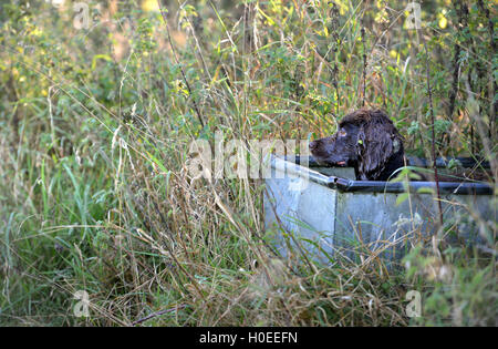 Working cocker spaniel sitting in a cattle trough - Stock Photo