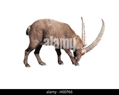 Ibex adult male preparing to fight isoled on white background - Stock Photo