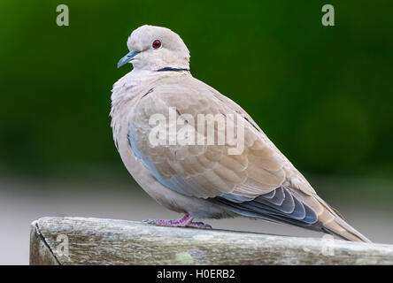 Eurasian Collared Dove (Streptopelia decaocto) perched on a wall. - Stock Photo