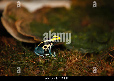 Exotic tiny blue yellow colored frog close reptile - Stock Photo