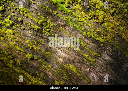 Moss covered sequoia tree in Sequoia National Park - Stock Photo
