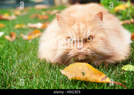 Orange Persian cat in autumn - Stock Photo