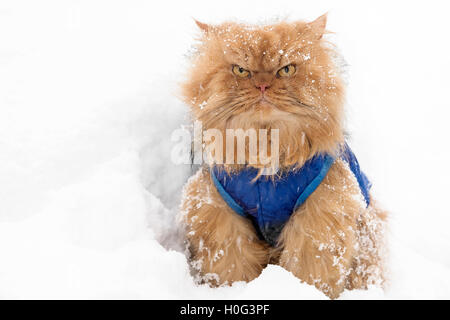 Orange Persian Cat in snow looking at camera - Stock Photo