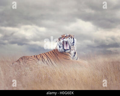 Bengal Tiger Resting in the Grass and Roaring - Stock Photo
