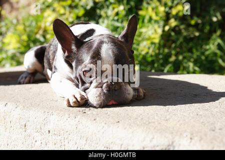 Sad French Bulldog - Stock Photo