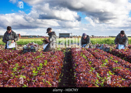 EU Farmer Workers, Tarleton, Lancashire: 22nd Sep 2016.  EU nationals who are seasonal migrant farm labourers, picking - Stock Photo