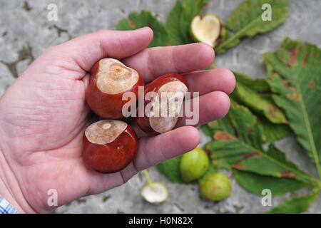 Horse Chestnuts, perfect for making autumn conkers in England, UK - Stock Photo