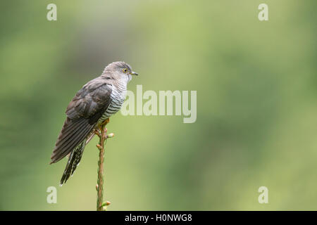 Cuckoo (Cuculus canorus), perched on a tree top, Stubai Valley, Tyrol, Austria - Stock Photo