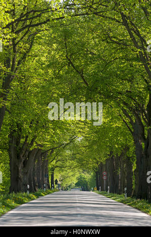 Largeleaf linden (Tilia platyphyllos) avenue, road near Ratzeburg, Schleswig-Holstein Germany - Stock Photo