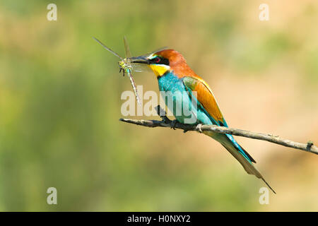European bee-eater (Merops apiaster) with dragonfly, prey, Burgenland, Austria - Stock Photo