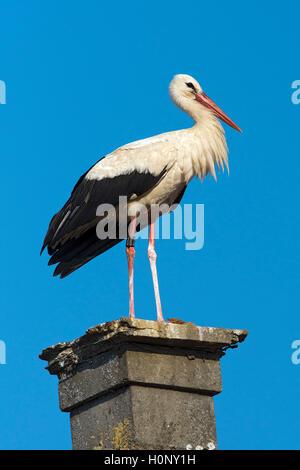White stork (Ciconia ciconia) perched on a fireplace, Rudersdorf, Burgenland, Austria - Stock Photo