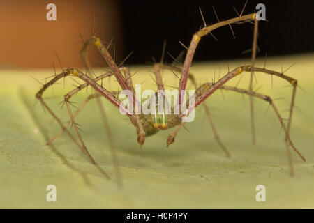 Green lynx spider, Peucetia viridans NCBS, Bangalore, Karnataka. Fairly large spider seen on bushes. Feeds on other - Stock Photo