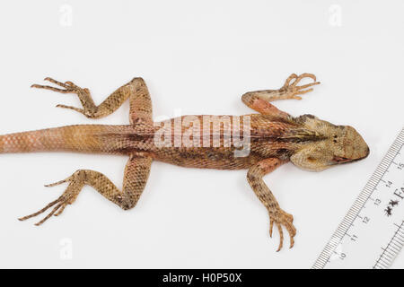 ORIENTAL GARDEN LIZARD, Calotes versicolor.  Ponducherry, INDIA  Agamid lizard found widely distributed in Asia. - Stock Photo