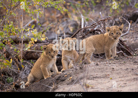Three lion cubs  near their den site - cubs are eight weeks old - Stock Photo