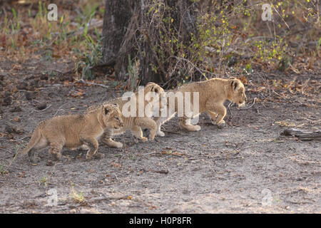Three lion cub siblings walking together - Stock Photo