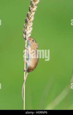 Harvest mouse (Micromys minutus) climbing wheat stem - Stock Photo