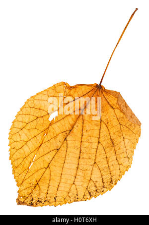 yellow fallen leaf of linden (Lime tree, Tilia ) isolated on white background - Stock Photo
