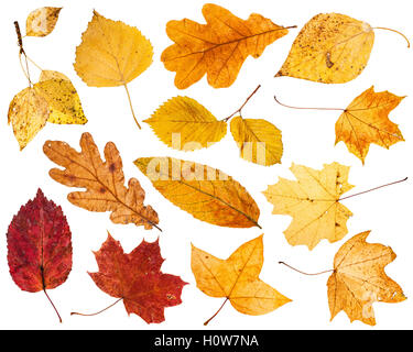 collage from various autumn leaves isolated on white background - Stock Photo