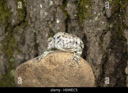 Smiling Copes Grey Tree Frog on a Rock - Stock Photo