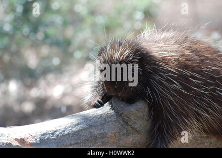 Porcupine holding on to the log while he is sleeping. - Stock Photo