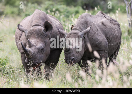 Male and Female Black Rhino grazing in the Kruger National Park South Africa - Stock Photo