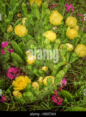 A flowering Prickly Pear Cactus - Stock Photo