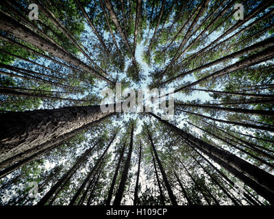 Artistic abstract image of tall pine forest tree tops over blue sky, Muskoka, Ontario, Canada - Stock Photo