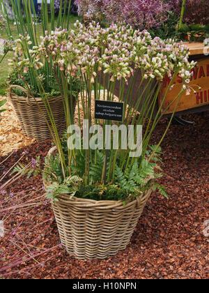 Wicker basket of nectaroscordum siculum, subsp. bulgaricum, (sicilian honey garlic) at RHS Tatton Park Flower Show - Stock Photo