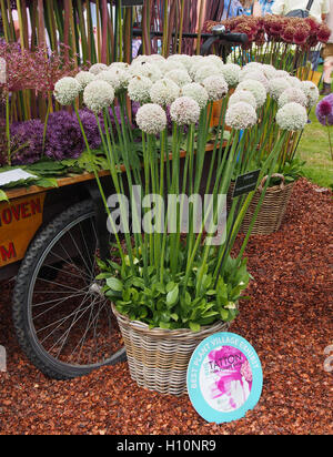 Wicker basket of Allium Ampeloprasum at Tatton Park RHS flower show, Cheshire, England, UK. in 2016b with its Best - Stock Photo