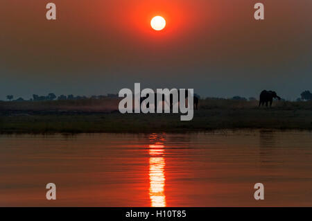 Silhouette of a herd of elephants at sunset in the Chobe National Park in Botswana; - Stock Photo