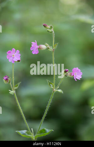 red campion (Silene dioica) flower growing in hedgerow, Norfolk, England - Stock Photo