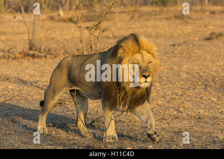 Large male male lion (Panthera leo) on the move in warm lighting - Stock Photo