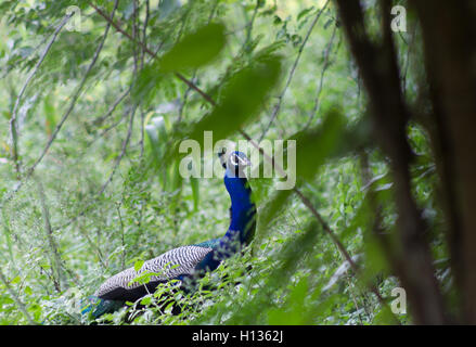 A blue peacock in garden. - Stock Photo