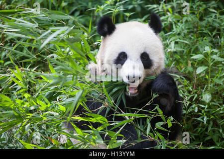 Panda bear eating bamboo leaves at Bifengxia Panda Reserve, Sichuan, Ya'an, China - Stock Photo